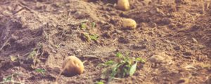 Několik brambor na poli po sklizni.