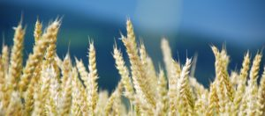 Prodej pšenice